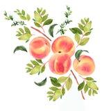 Gałąź z brzoskwiniami beak dekoracyjnego latającego ilustracyjnego wizerunek swój papierowa kawałka dymówki akwarela ilustracja wektor