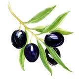 Gałąź z czarnymi oliwkami Obrazy Royalty Free
