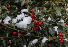 Gałąź z czerwonymi jagodami zakrywać z śniegiem zdjęcia royalty free