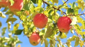 Gałąź z dojrzałymi jabłkami przeciw niebieskiemu niebu zbiory