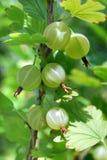 Gałąź z dojrzałymi jagodami agrestowymi Obraz Royalty Free