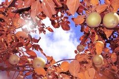 Gałąź z jabłkami i czerwień liśćmi przeciw niebu zdjęcia royalty free