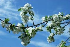 Gałąź z jabłkiem kwitnie w kwiatonośnym okresie Zdjęcie Stock