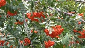 Gałąź z jagodami czerwony halny popiół zbiory wideo