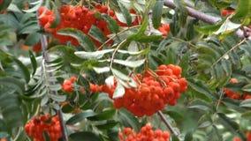 Gałąź z jagodami czerwony halny popiół zbiory