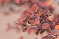 Gałąź z jaskrawymi czerwonymi liśćmi Zdjęcie Royalty Free