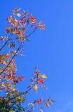 Gałąź z jaskrawymi liśćmi Obraz Stock