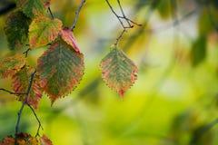 Gałąź z jesień liśćmi fotografia stock