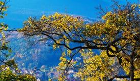 gałąź z kolorów żółtych liśćmi przeciw niebieskiemu niebu Obrazy Royalty Free