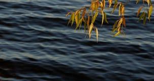 Gałąź z kolorowymi jesień liśćmi nad spokojną jezioro wodą zdjęcie wideo