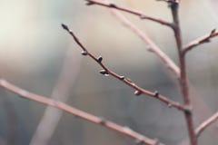 Gałąź z kroplą bez liści w ranku po deszczu Obrazy Royalty Free