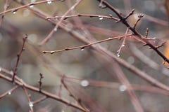 Gałąź z kroplą bez liści w ranku po deszczu Fotografia Royalty Free