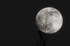 Gałąź z księżyc przy nocą Fotografia Royalty Free