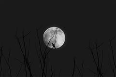 Gałąź z księżyc przy nocą Zdjęcie Royalty Free