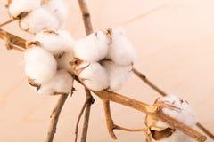 Gałąź z kwiatami bawełniany tło Fotografia Stock
