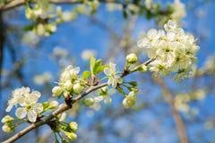 Gałąź z kwiatami przeciw niebu Zdjęcie Royalty Free