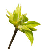 Gałąź z liśćmi odizolowywającymi na bielu Zdjęcia Stock