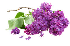 Gałąź z lilymi kwiatami obraz royalty free