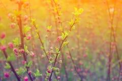 Gałąź z małymi menchia kwiatami, kwiaty w ogródzie przy wiosną Zdjęcia Royalty Free
