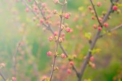 Gałąź z małymi menchia kwiatami, kwiaty w ogródzie przy wiosną Fotografia Stock
