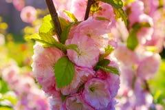 Gałąź z małymi menchiami kwitnie, kwitnący kwitnie w Garde Obraz Royalty Free