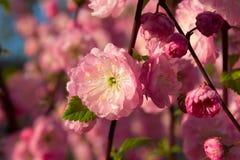 Gałąź z małymi menchiami kwitnie, kwitnący kwitnie w Garde Zdjęcie Royalty Free