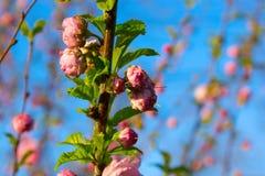 Gałąź z małymi różowymi kwiatami Zdjęcie Stock