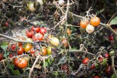 Gałąź z narastającymi pomidorami w naturze Obraz Royalty Free