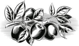 Gałąź z niektóre dojrzałymi jabłkami ilustracji