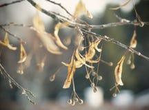 Gałąź z osuszkami up opuszcza i jagody Obrazy Royalty Free