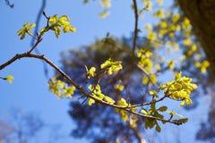Gałąź z potomstwo zielonym dębem opuszcza w wiośnie w kierunku światła słonecznego Dębowi liście wewnątrz mogą obrazy stock