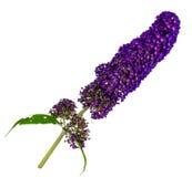 Gałąź z purpurowymi kwiatami motyli krzak (Buddleja davidii Obrazy Stock