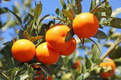 Gałąź z tangerines obraz stock