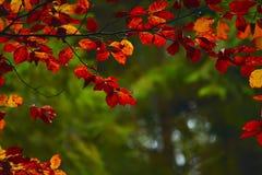 Gałąź z ulistnienie czerwonym bukiem w jesieni obraz royalty free