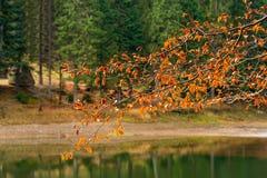 Gałąź z ulistnieniem na zamazanym tle lasowy jezioro Zdjęcie Stock