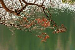 Gałąź z ulistnieniem na zamazanym tle lasowy jezioro Fotografia Royalty Free