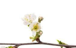 gałąź z wiśnia kwiatami odizolowywającymi Obraz Royalty Free