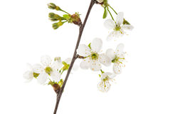 gałąź z wiśnia kwiatami odizolowywającymi Zdjęcia Stock