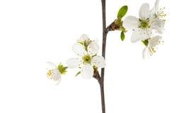 gałąź z wiśnia kwiatami odizolowywającymi Obraz Stock