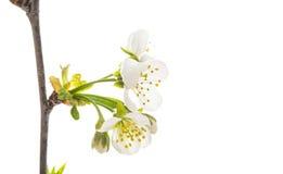 gałąź z wiśnia kwiatami odizolowywającymi Fotografia Stock