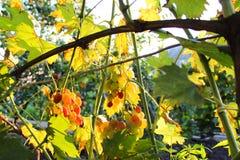 Gałąź z winogronami fotografia stock