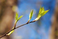 Gałąź z wiosna liśćmi Zdjęcie Royalty Free