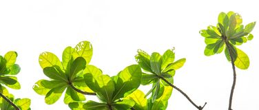 Gałąź z zieleń liśćmi odizolowywającymi na bielu, Zdjęcie Stock