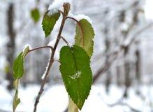 Gałąź z zieleń liśćmi w śnieżnym lesie Zdjęcia Stock