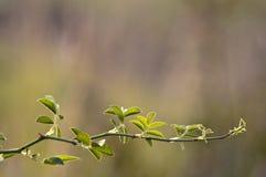 Gałąź z zielonymi liśćmi Fotografia Stock
