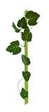 Gałąź z zielonymi liśćmi wykres Na biały tle Zdjęcie Stock