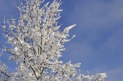 Gałąź zakrywać z śniegiem w świetle słonecznym i niebieskim niebie w tle Fotografia Royalty Free