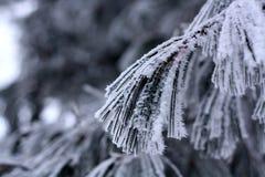 Gałąź zakrywać z hoarfrost Piękną białą zimą Zdjęcia Royalty Free