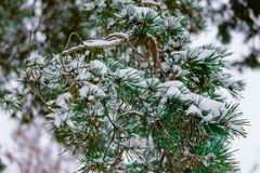 Gałąź zakrywająca z śniegu zakończeniem up świerczyna zdjęcia stock