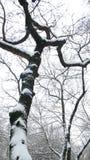 gałąź zakrywający śnieżny drzewo Zdjęcia Royalty Free